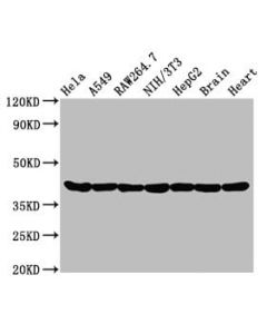 Western Blot<br /> Positive WB detected in:Hela whole cell lysate,A549 whole cell lysate,Raw264.7 whole cell lysate,NIH/3T3 whole cell lysate,HepG2 whole cell lysate,Rat brain tissue,Rat heart tissue<br /> All lanes:Actin antibody at 0.95